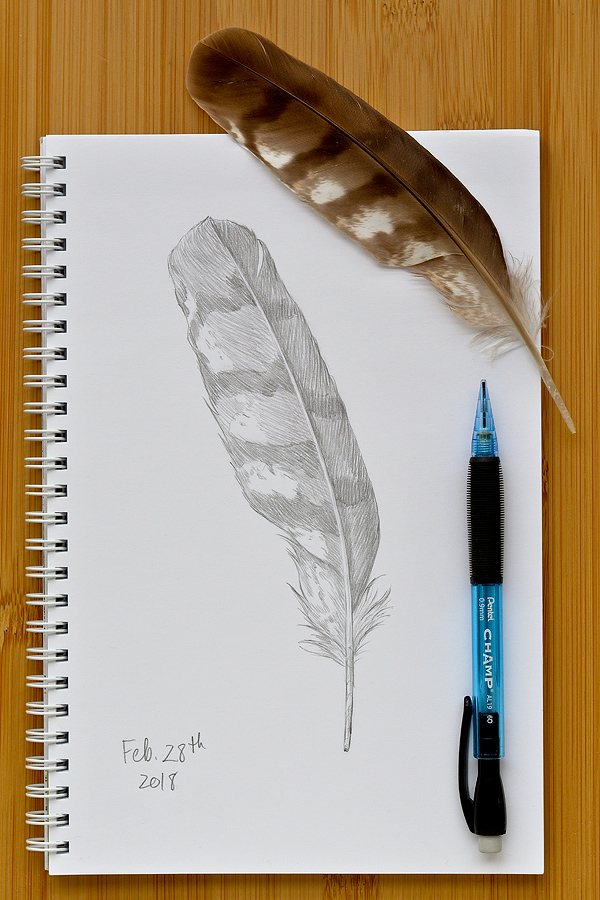 Cooper's Hawk Feather
