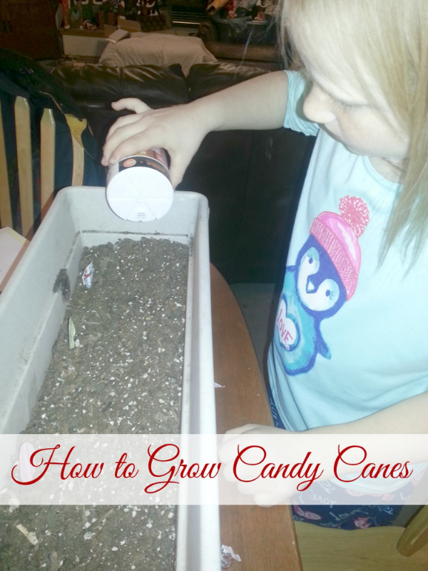 How to Grow a Candy Cane with Chicken Scratch n Sniff