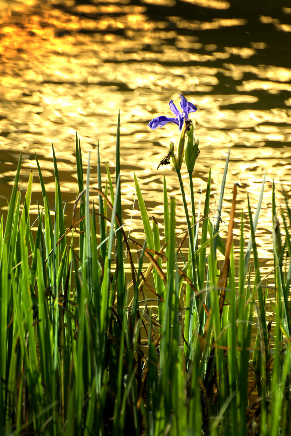 Iris and reflection of Kinkakuji Temple