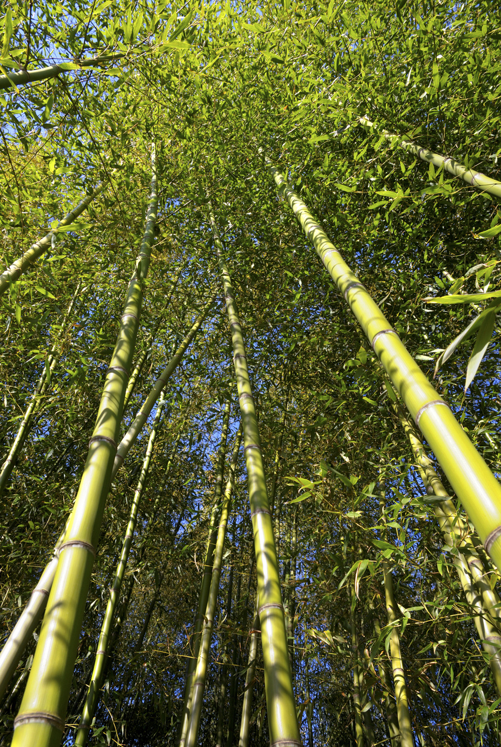 Bamboo trees at Arashiyama