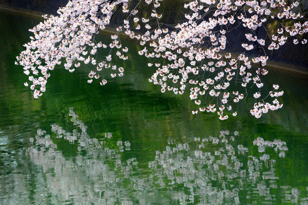 Cherry Blossom and Reflection