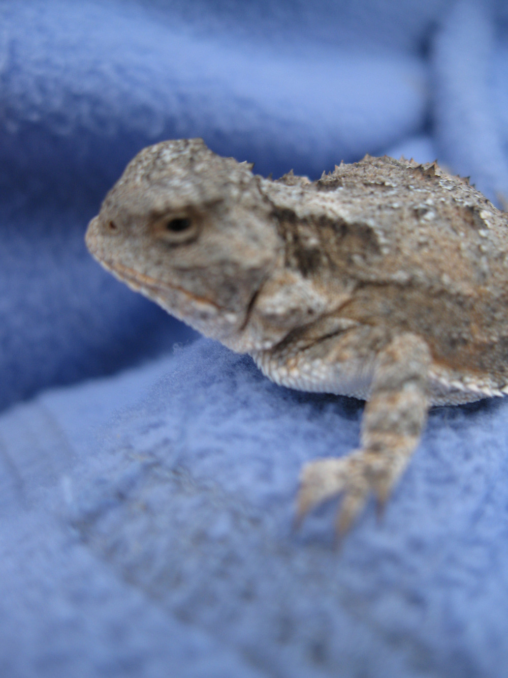 tiny horned toad