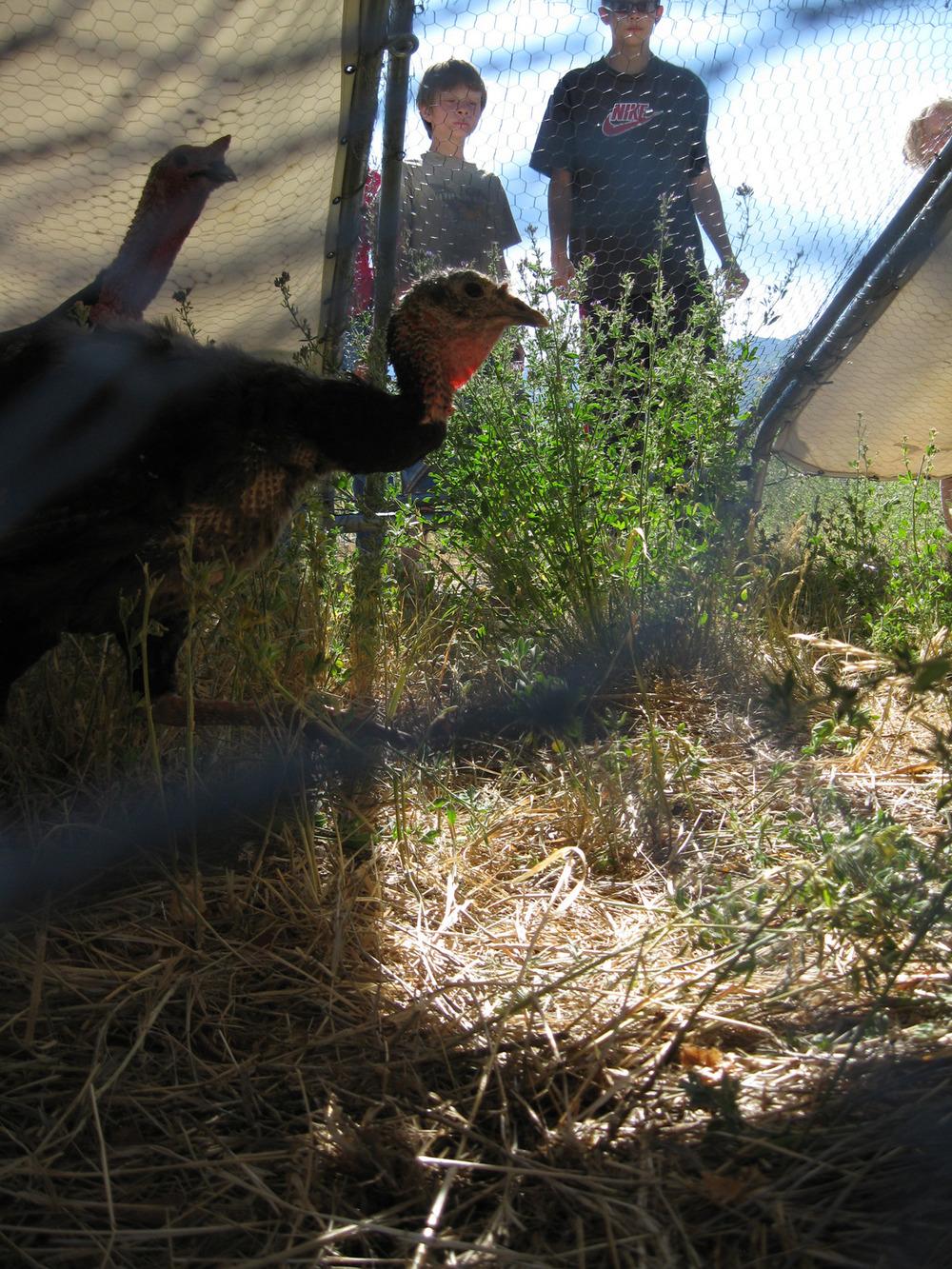 turkey tractor