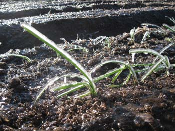 Little onions wait out a late frost in LCF