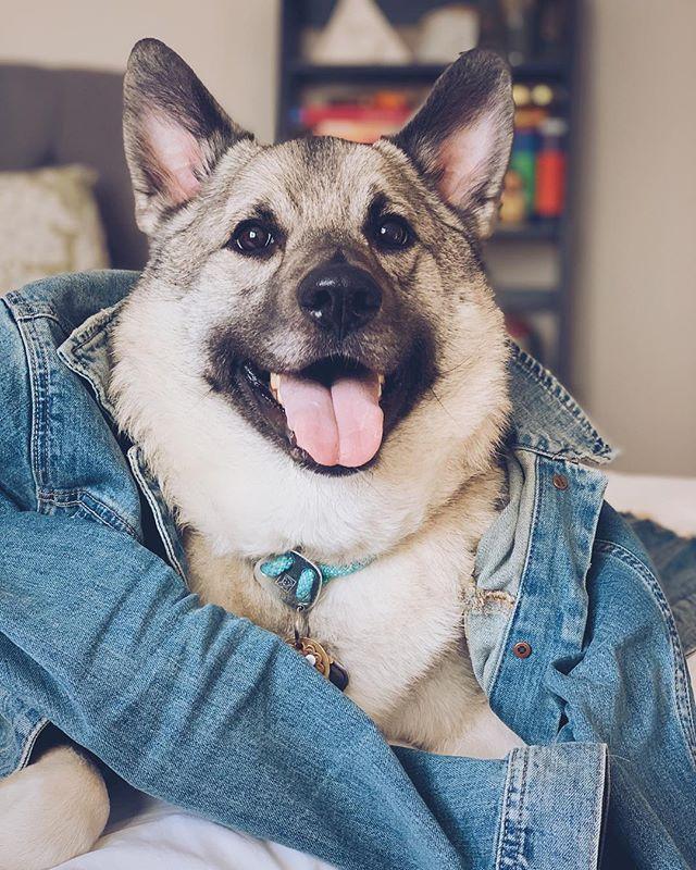 Ya fav boi, Odin. Jacket styling by the one and only: @lexiedeering #vscocam #dogsofinstagram #norwegianelkhound