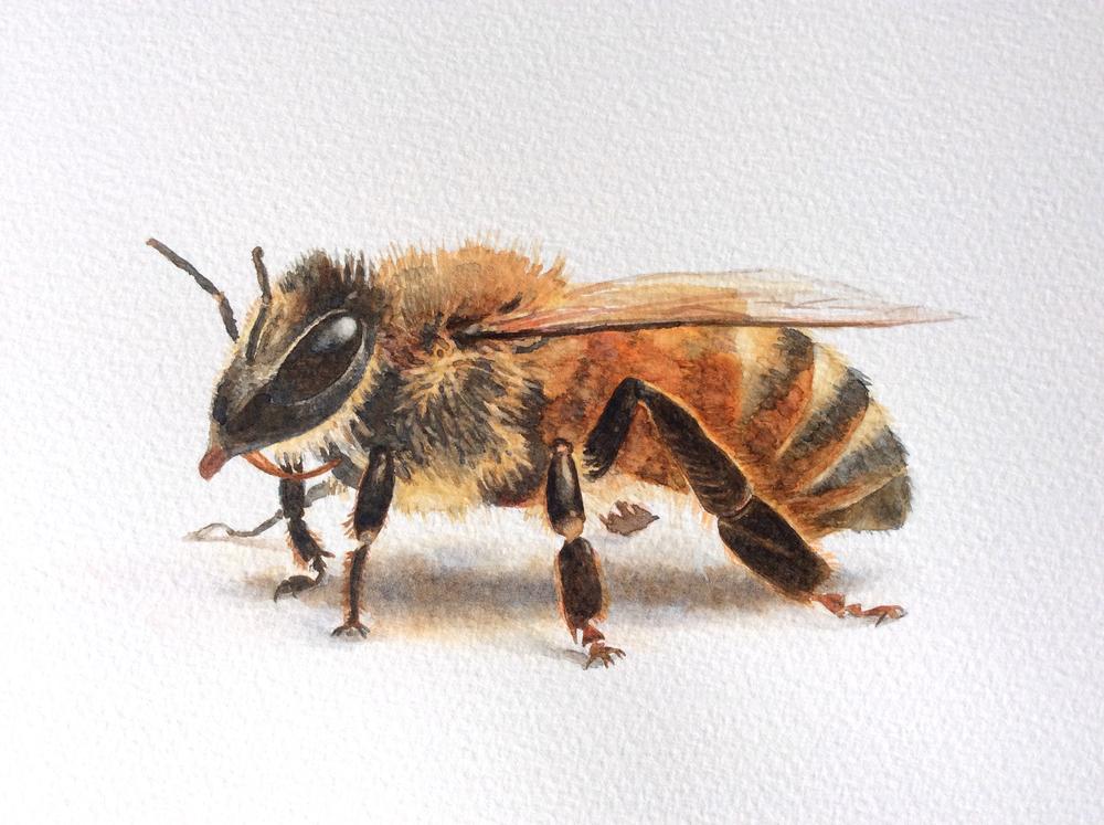 Apis mellifera, the European Honey Bee.