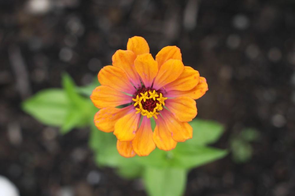 Flame Orange Zinnia