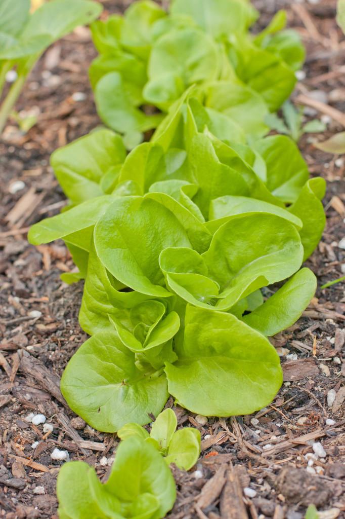 Lettuce-1-682x1024.jpg