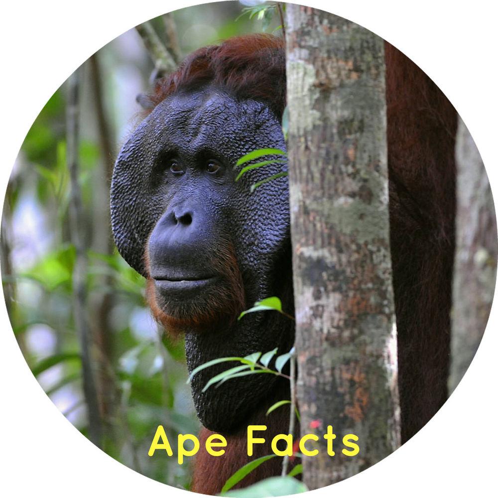 Chimpanzees, gorillas, bonobos and orangutans ape facts thumb link