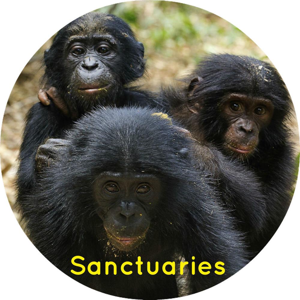 Chimpanzees, gorillas, bonobos and orangutans sanctuary information thumb link