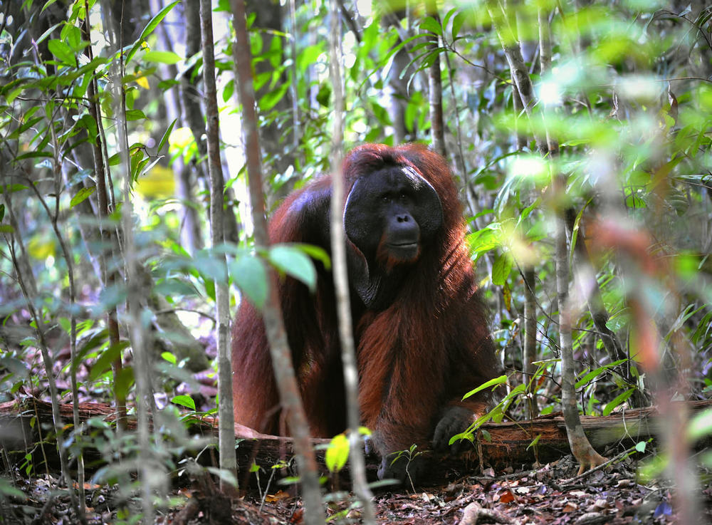 Flanged male orangutan in forest