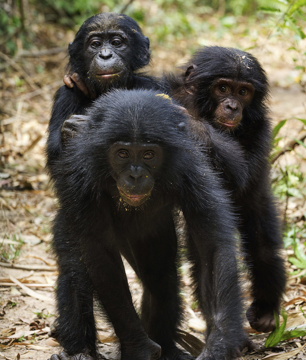 Orphan bonobos take refuge in a Congo sanctuary