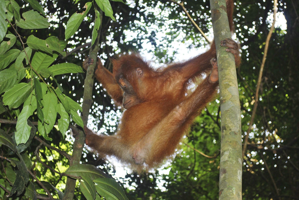 Orphans learn survival skills in sanctuaries such as tree climbing