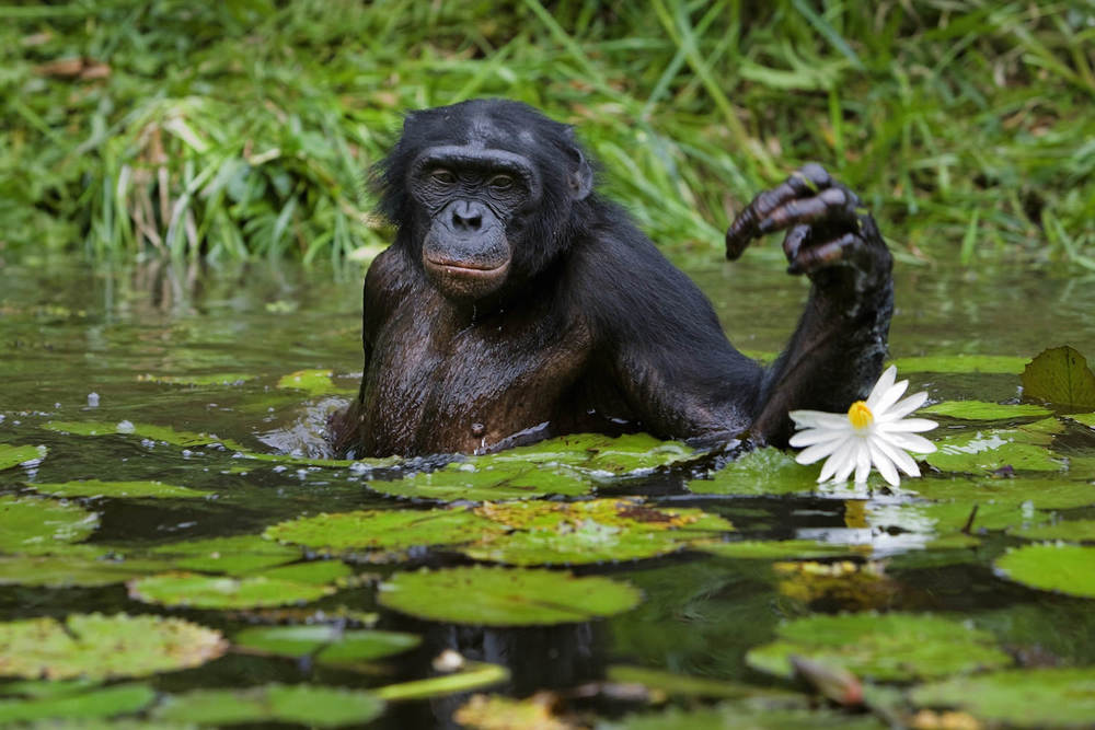 Bonobo feeding on water lilies