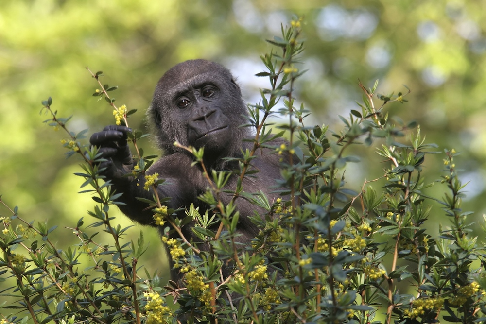 A young Western lowland gorilla feeding on flowers