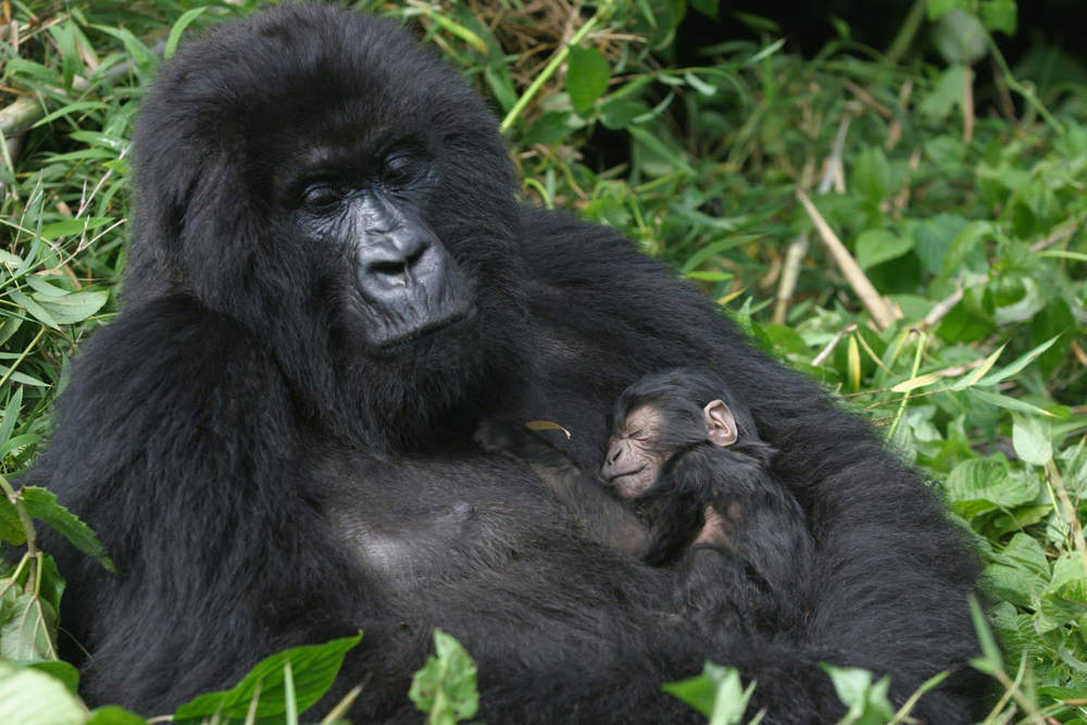 Female mountain gorilla caring for her newborn