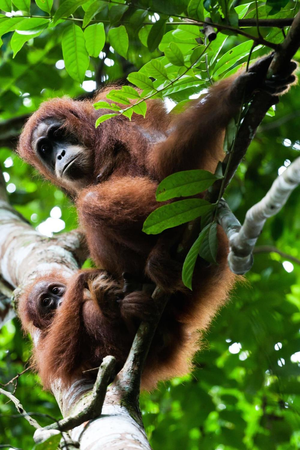 Female Sumtaran orangutan with her infant