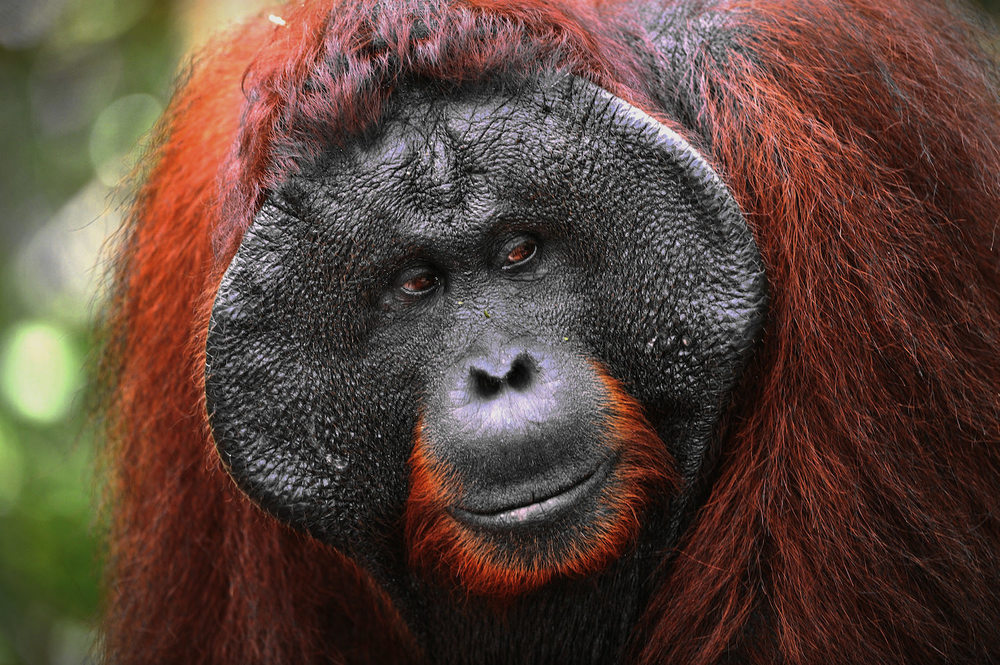 Adult flanged male orangutan