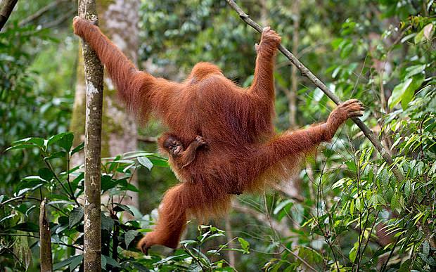 Orangutan_3233162b.jpg