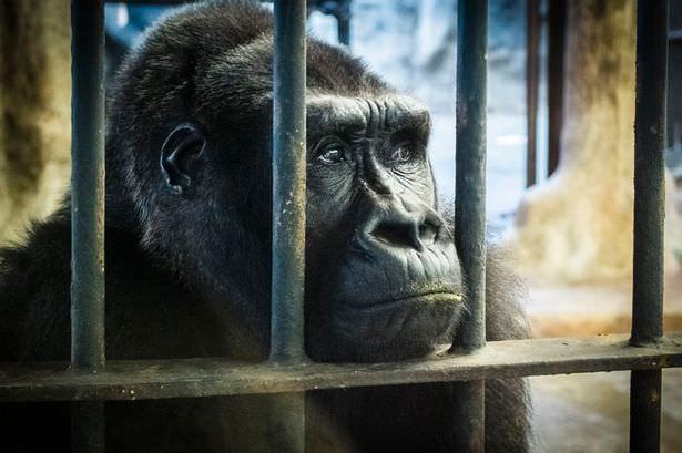 Pata-Zoo-Gorilla.jpg