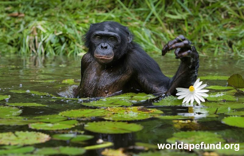 Bonobo story.jpg