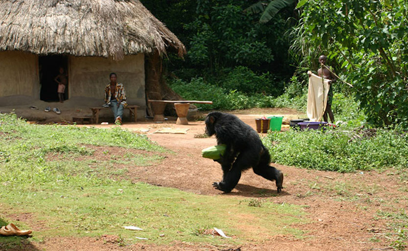 Chimpanzee stealing food