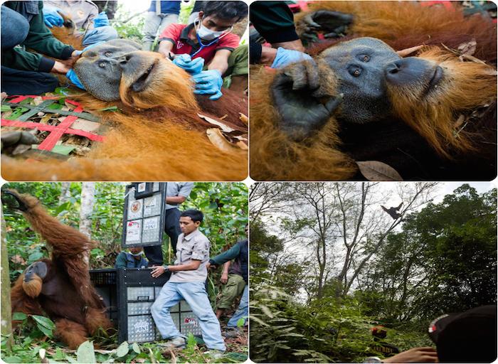 Shot orangutan saved in time