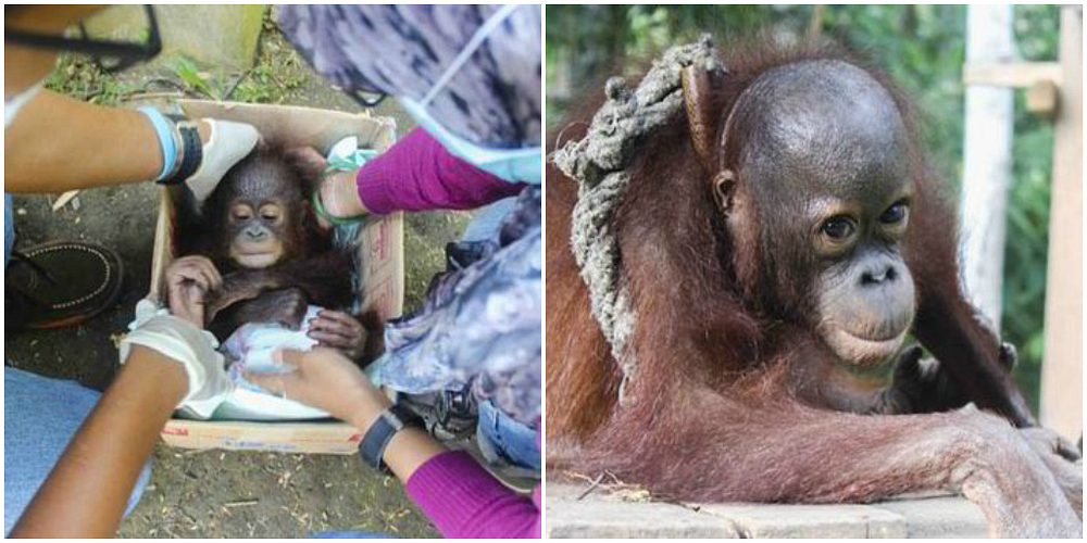 baby orangutans saved