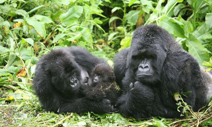 mountain gorillas avoid inbreeding