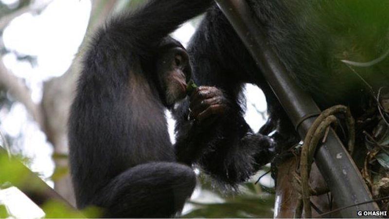 Chimpanzee drinking booze