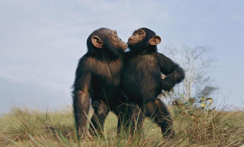 orphan sanctuary chimps