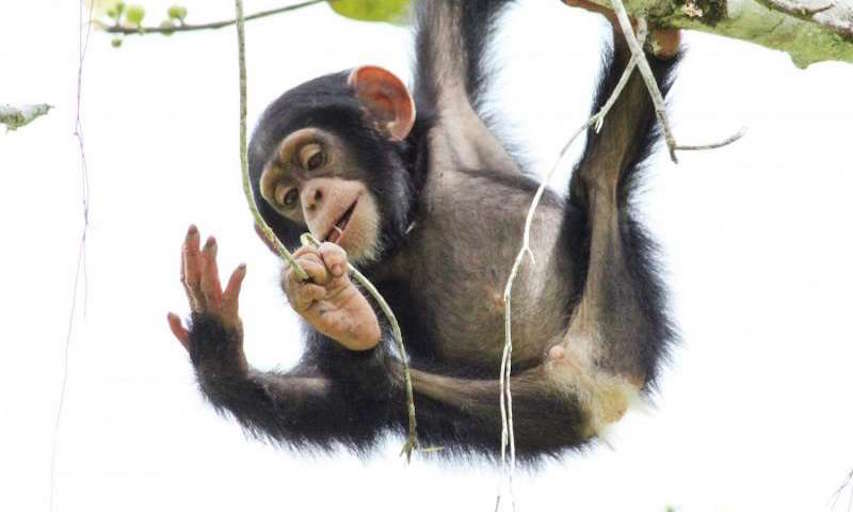Wild infant chimpanzee