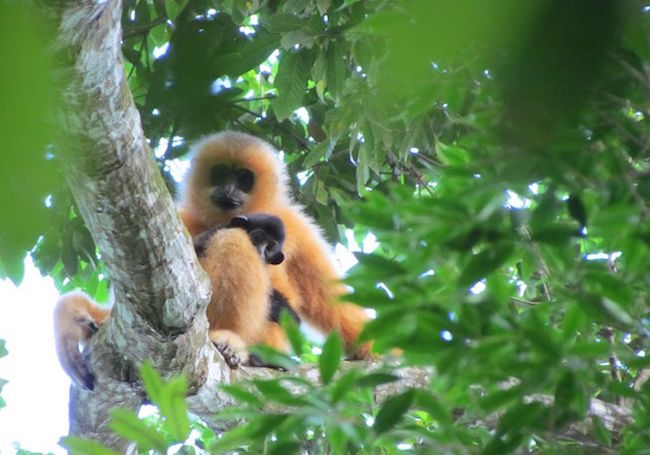 Rare gibbon family discovered