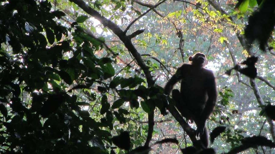 Drones helping wild chimpanzees:Drones aid ailing chimpanzee populations: goo.gl/p4X9eP