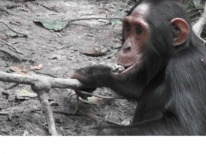 Wild chimpanzee detox by eating clay