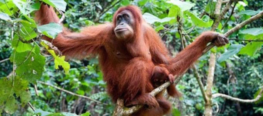 Wild orangutans at risk from palm oil production and climtate change