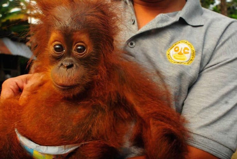 Orangutan save from pet trade