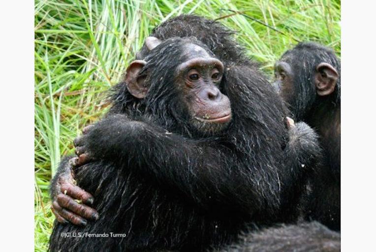 Sanctuary Chimps
