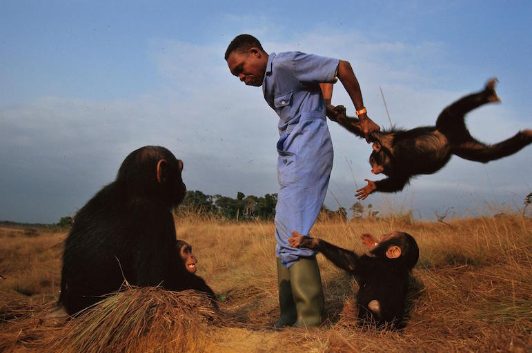 Chimpanzee orphans playing with their caretaker