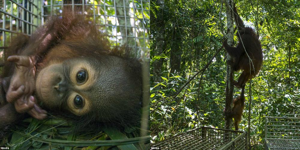 Orangutans free again