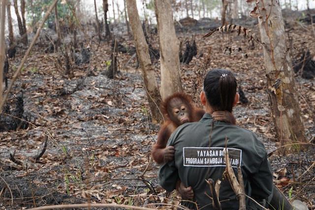 Orangutan habitat loss