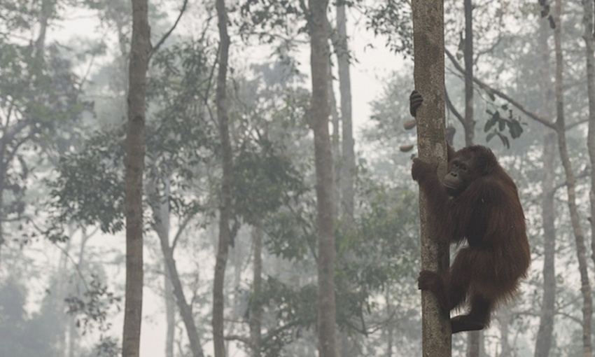 Fires in Indonesia threaten wild orangutans