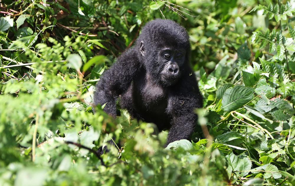 Uganda, Rwanda, DR Congo team up to save gorillas
