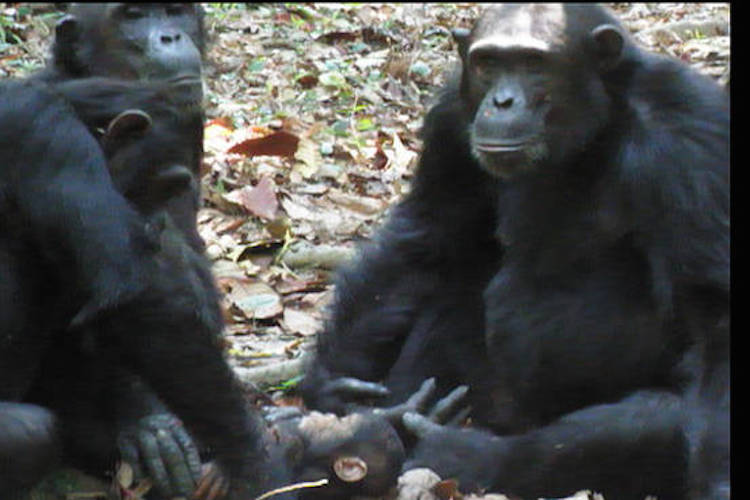 Scientists Study Chimpanzees Caring for Disabled Infant in the Wild