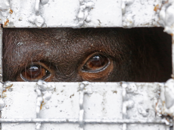 Orangutans smuggled into Thailand for work at tourist sites rescued and returned to Indonesia