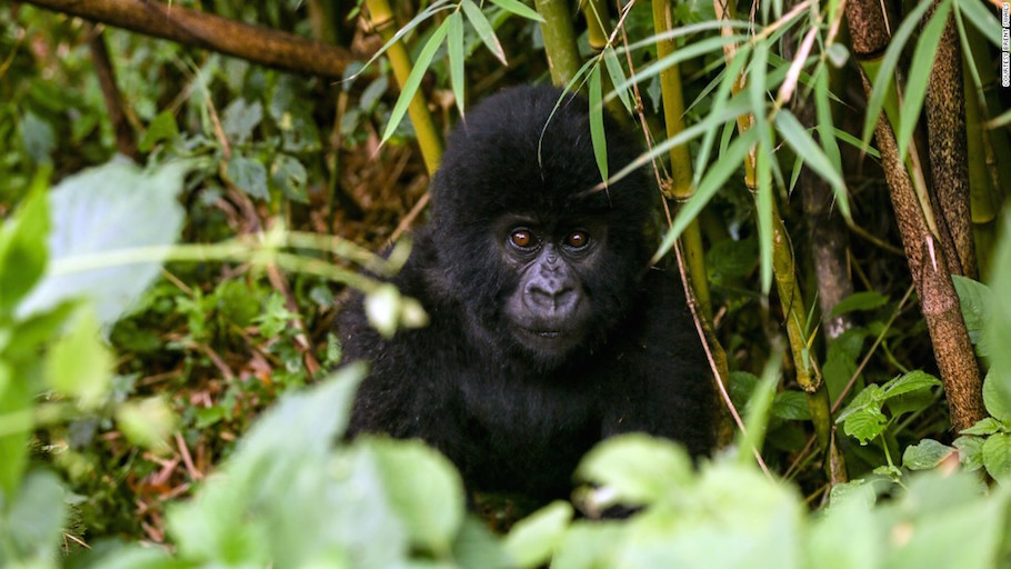 Can clean energy save the gorillas of Virunga National Park?.jpg