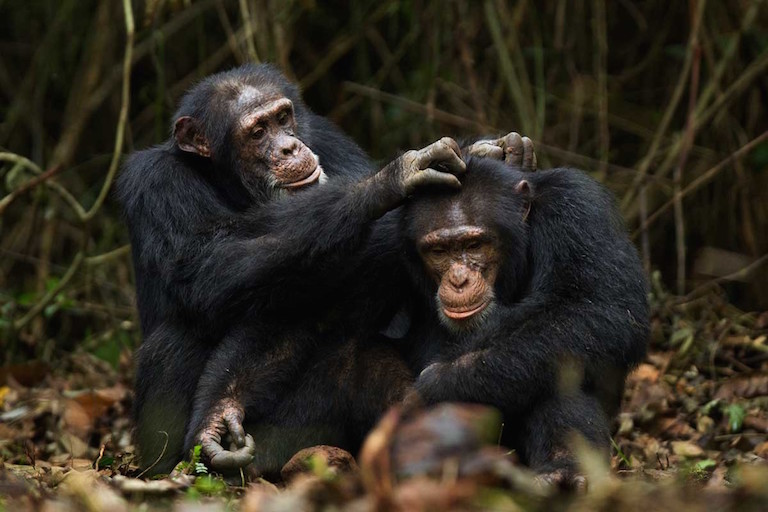 Bromance helps stressed out warring chimps keep their cool.jpg