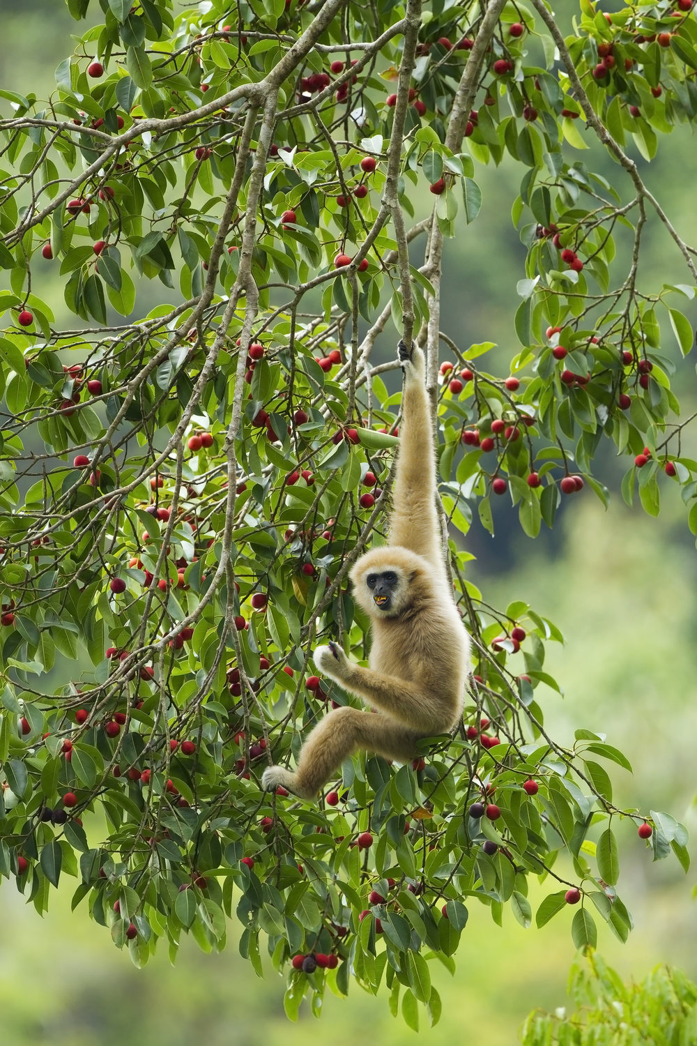 Gibbon feeding in fruit tree