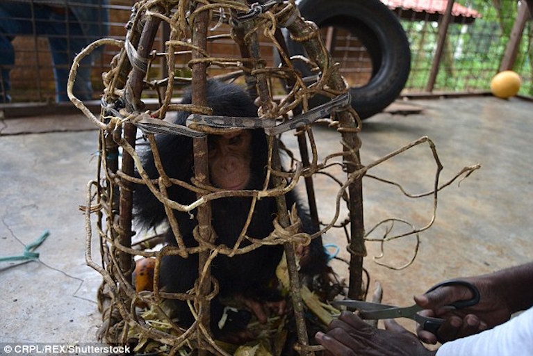 orphan chimp caged by poachers.jpg