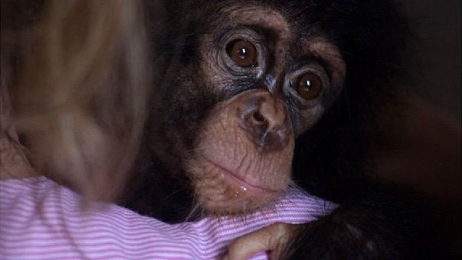 Very sad news: baby chimpanzee rescued from traffickers dies
